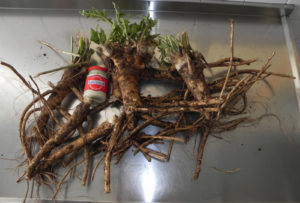 Newmans Horseradish Production